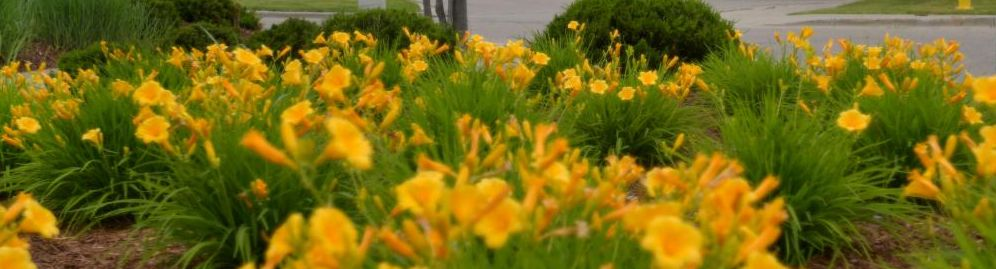Bunches of yellow flowers surrounded by greenery and mulch.