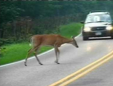 Deer and Cars