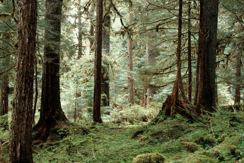 Old-growth forest in the Tongass. Photo_ John Schoen
