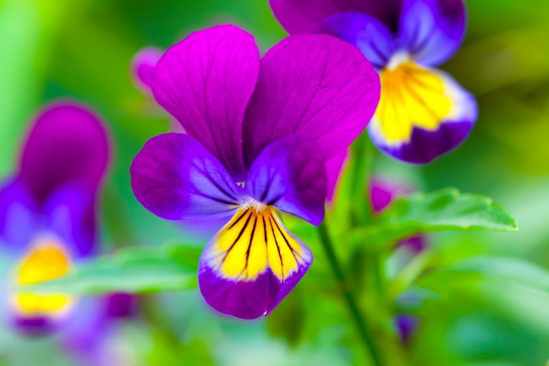 viola_flowers_purple.jpg