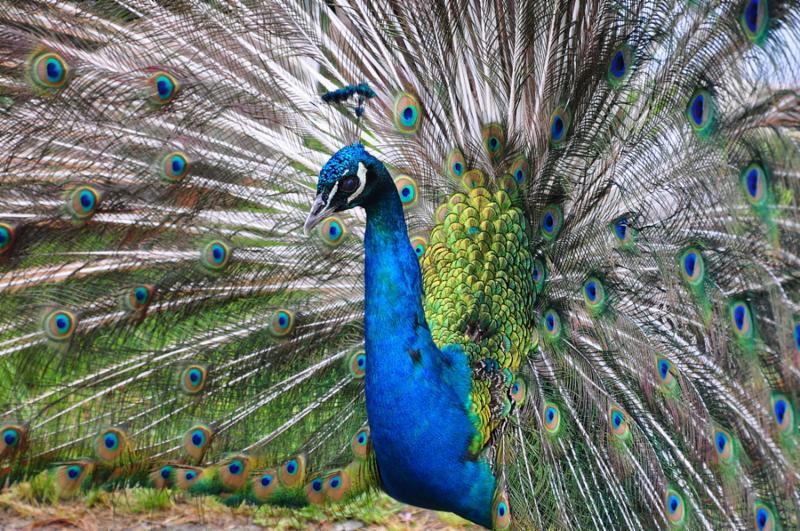 peacock_dancing.jpg
