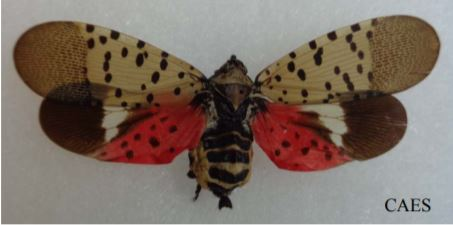 Spotted Lanter Fly