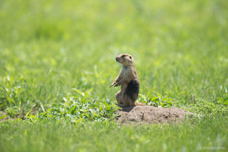 Relocated Prairie Dog on Niobrara Sanctuary by Ron Klataske