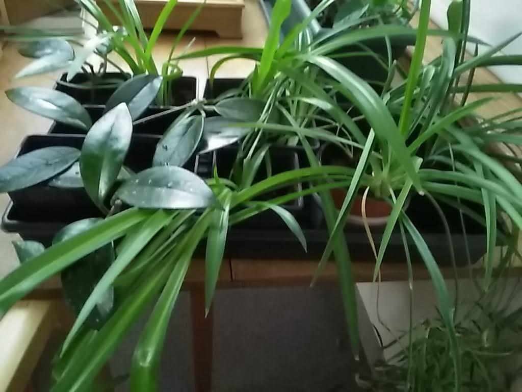 Plants for sale - Hoya and christmas cactus