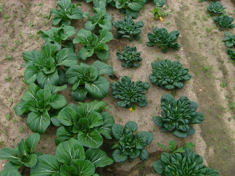 Bok Choy and Tatsoi in the field