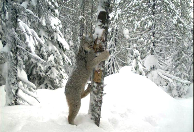 Lynx are one of the elusive creatures that call Idaho_s Scotchman Peaks home