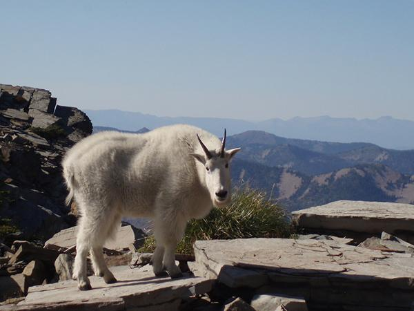 Mountain goats are a symbol of Scotchman Peaks.