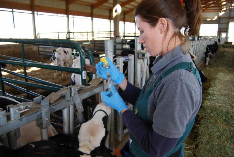 veterinarian calf vaccine