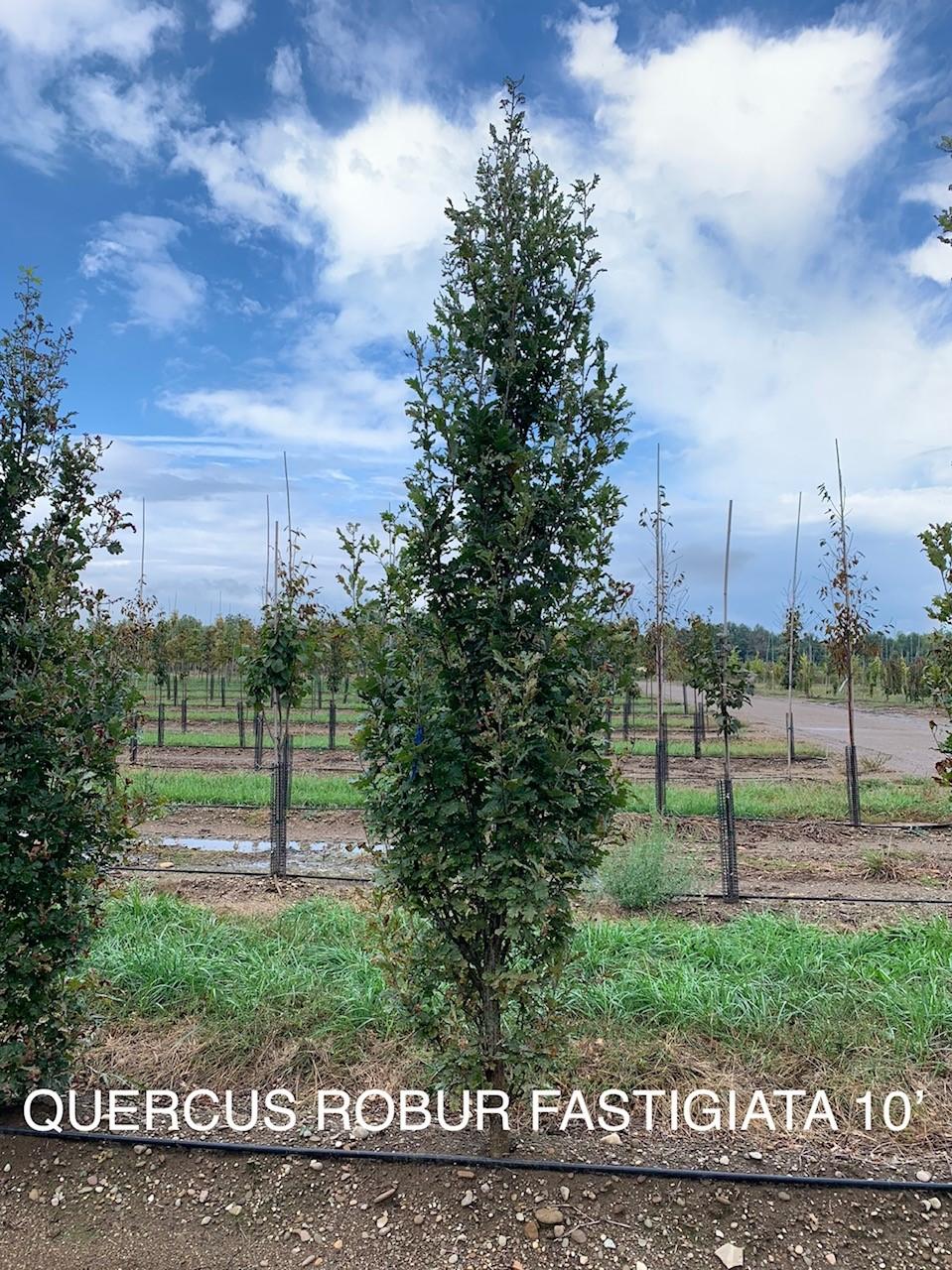 quercus robur fastigiata.jpg