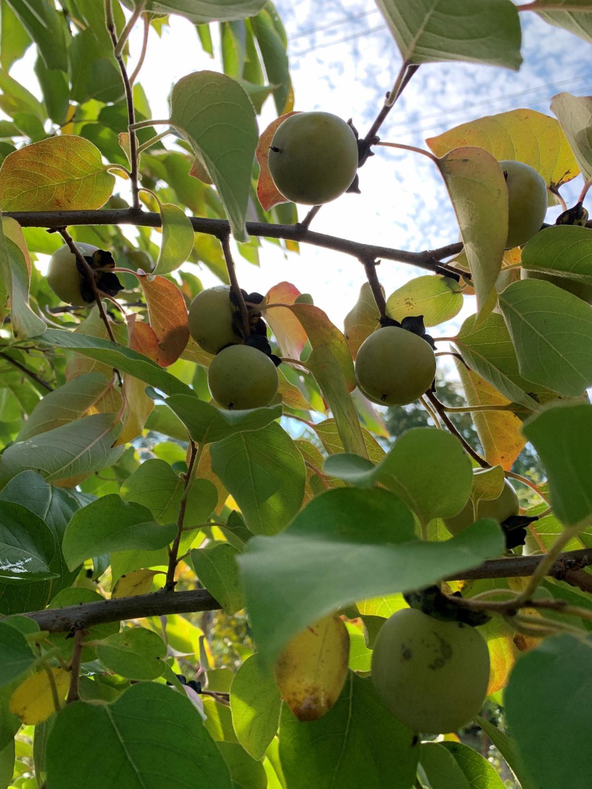 diospyros fruit.jpg