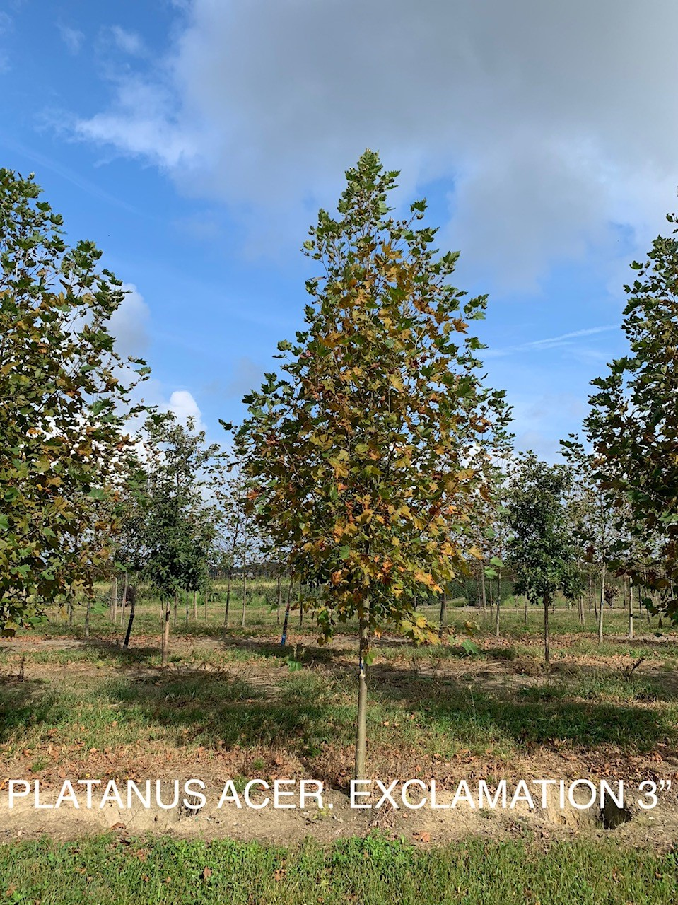 platanus acer exclamation.jpg
