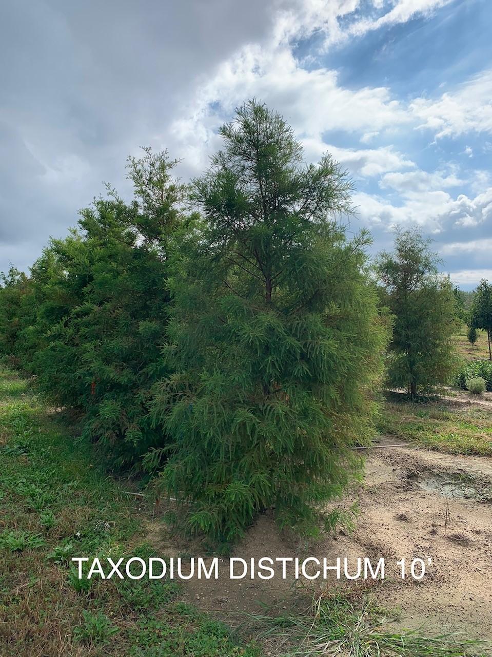 taxodium distichum.jpg
