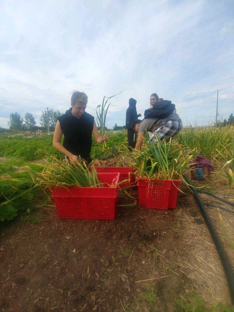 Students are picking garlic in a farm field