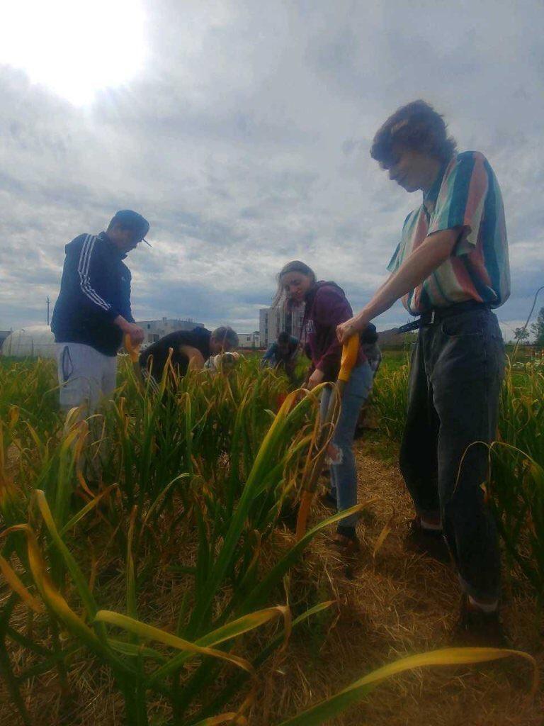 Students in a farm field picking garlic