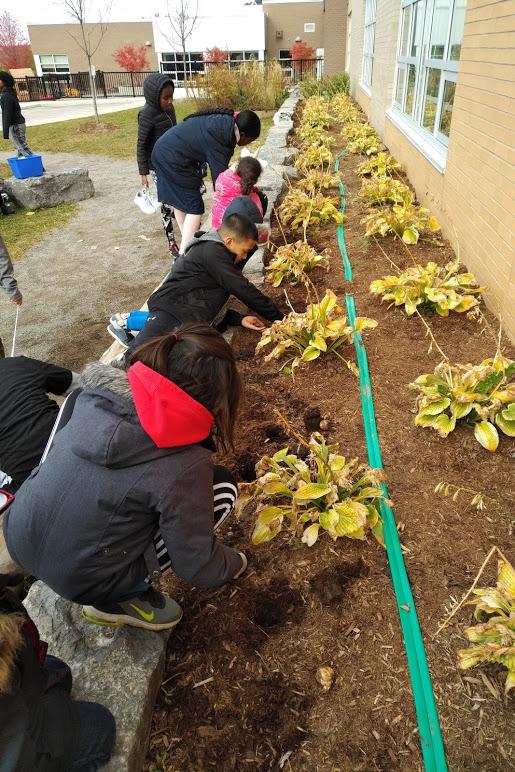 Students planting tulip bulbs in the school's garden