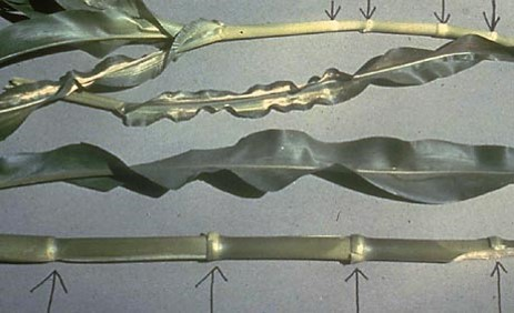 corn nodes with Z deficiency