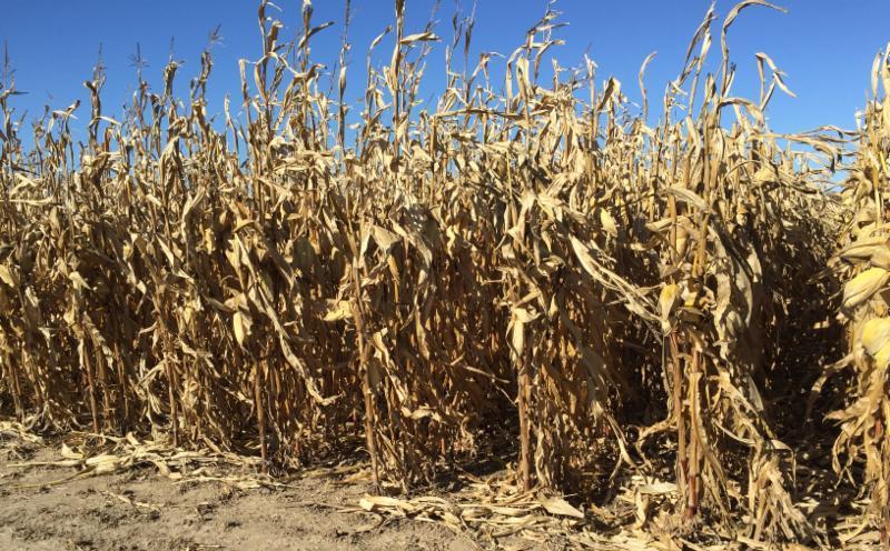 plot corn ready to harvest