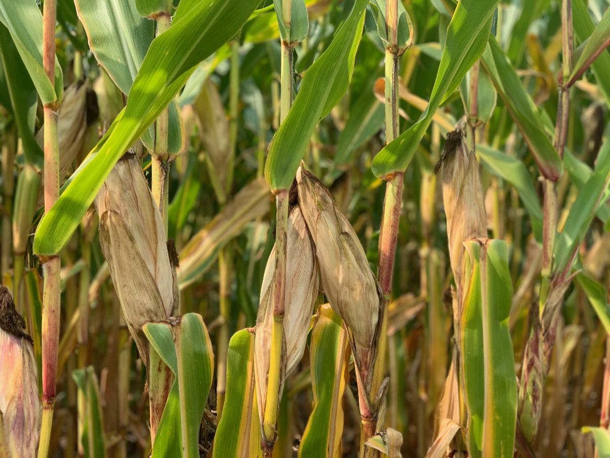 Mid-Sept 2020 corn2