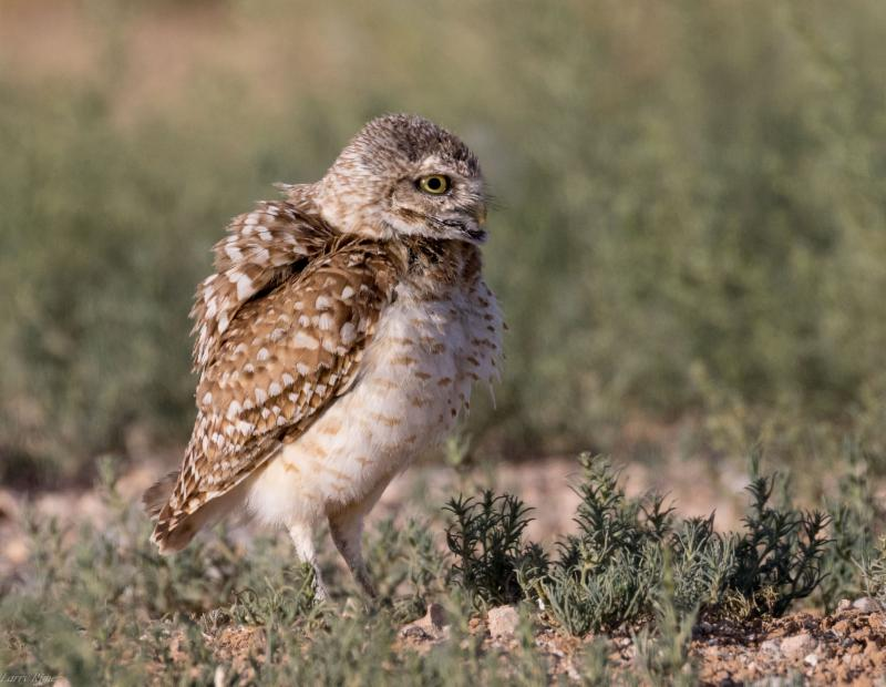 Burrowing Owl by Larry Rimer