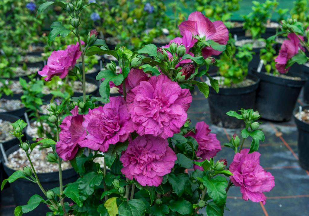 hibiscus_magenta_chiffon_2.jpg