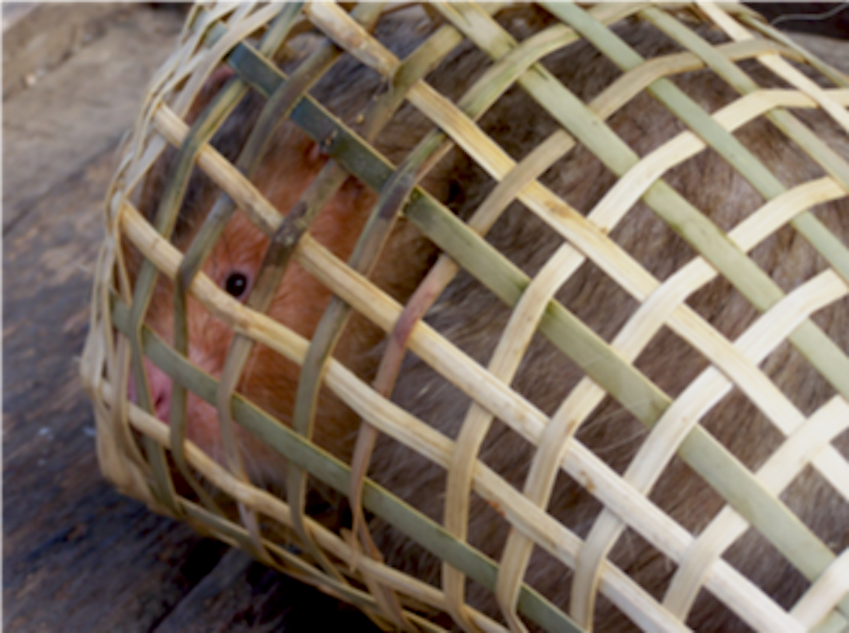 bamboo rat in wildlife trade