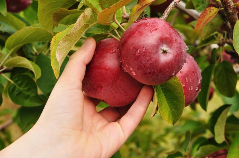 hand_picking_apple.jpg