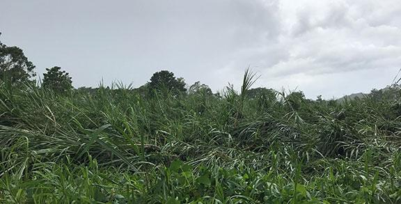 Sugar cane fields damaged by hurricane