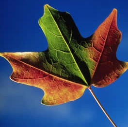 red-green-leaf.jpg