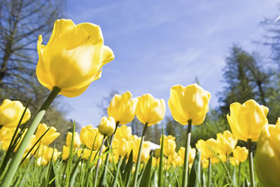 yellow-tulip-field.jpg