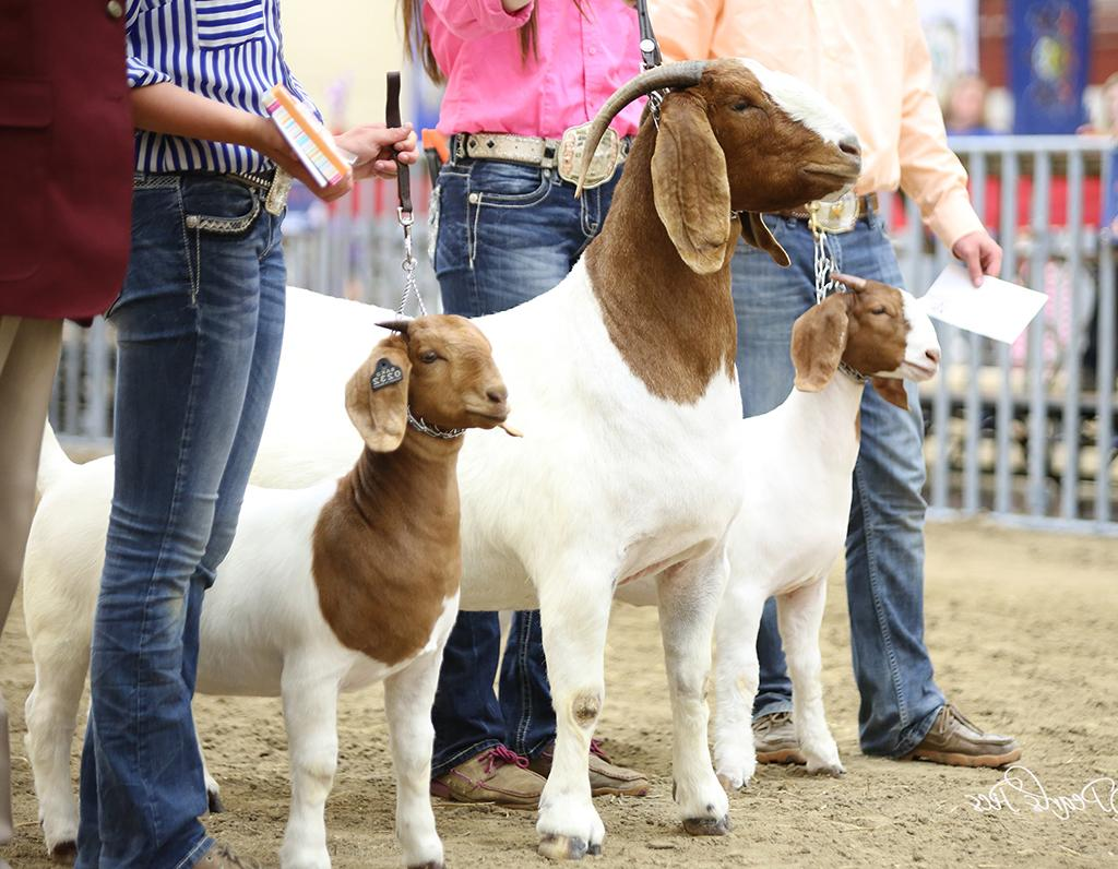 Goats in Show Ring