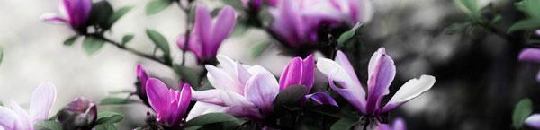 purple-flower-tree.jpg