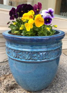 Richly colored spring pansies by our shop (click to zoom)