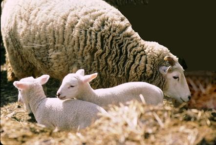 OSV lambs