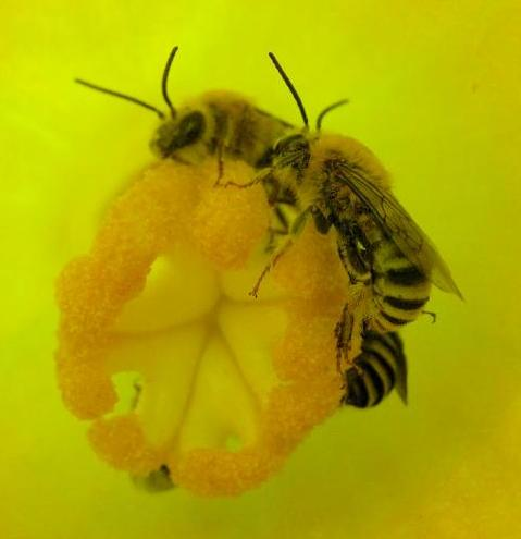 Squash bees by Nancy Adamson