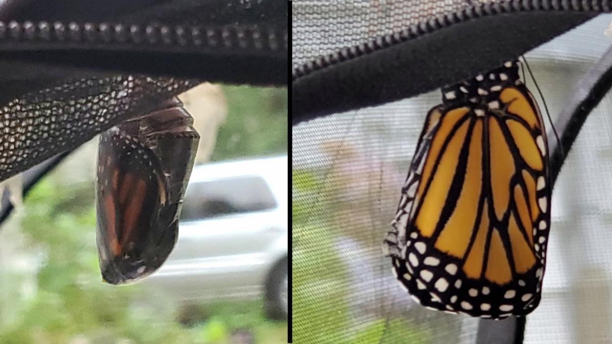 Monarch Emerging by Shelly Smola