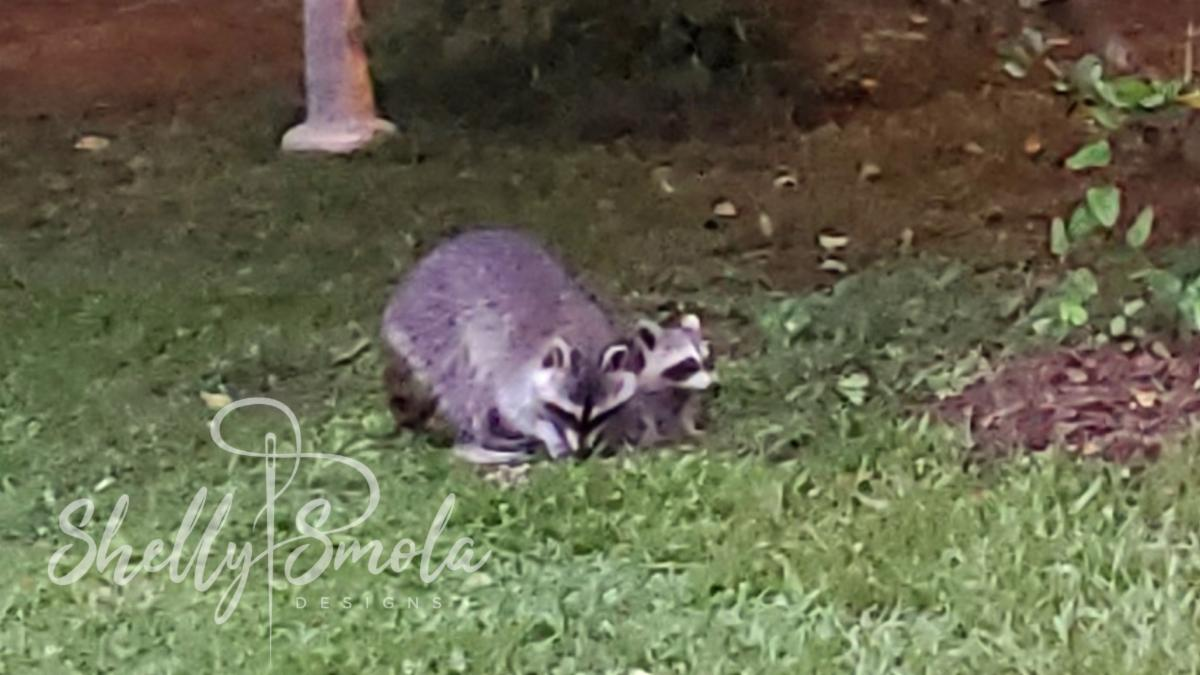 Raccoons by Shelly Smola