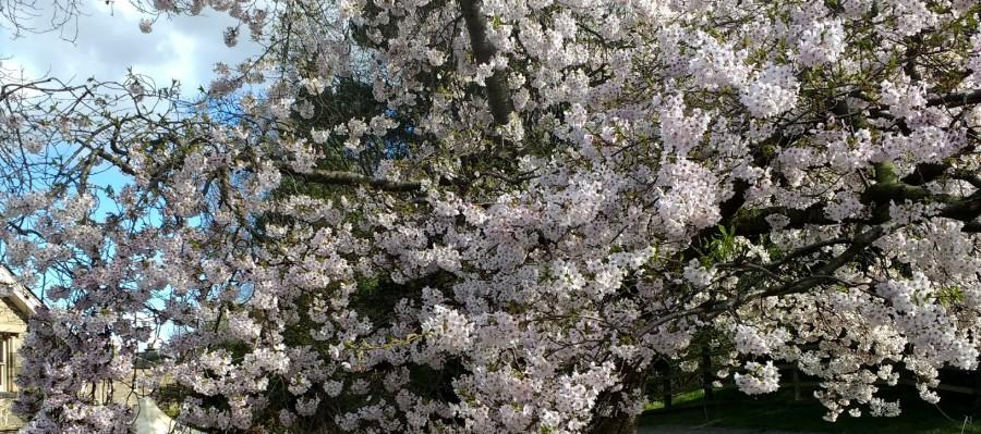 Cherry tree at RBGE