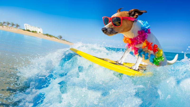 jack russell dog surfing on a wave _ on ocean sea on summer vacation holidays_ with cool sunglasses and flower chain
