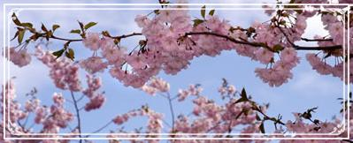 pink-blossoms-tree.jpg