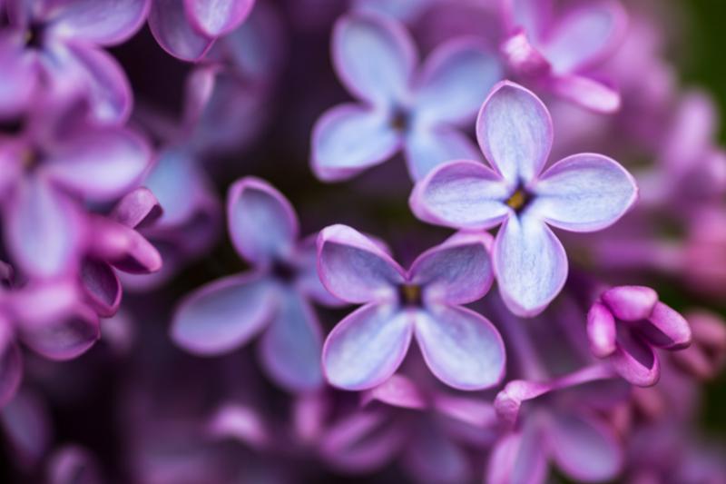 lilac_closeup.jpg