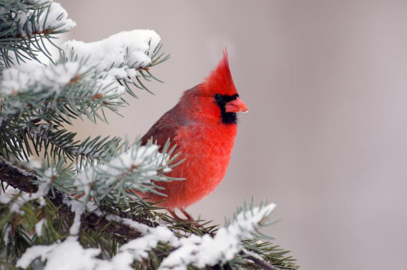 cardinal_perched_trees.jpg