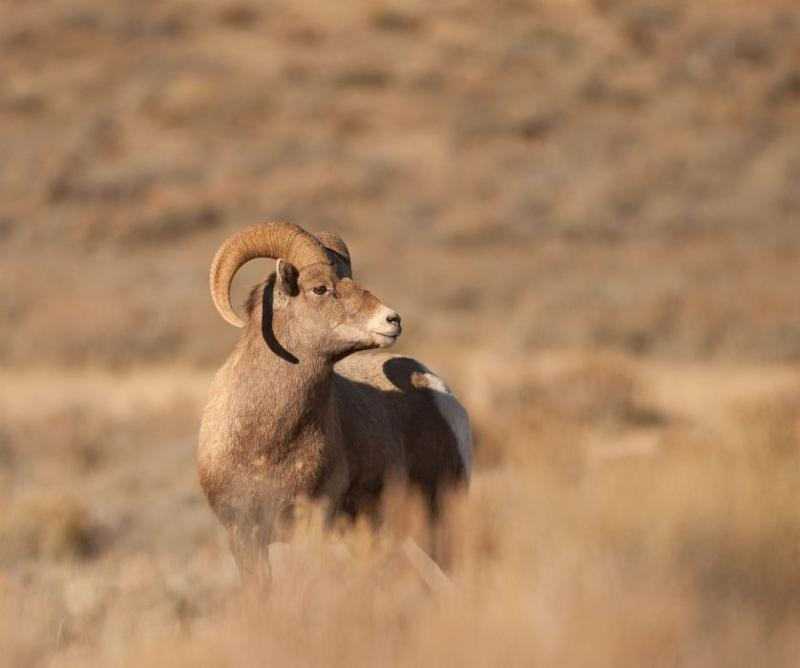 A male bighorn sheep surveys the Wyoming prairie.