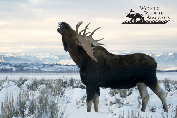 A bull moose captured by Kent Nelson.