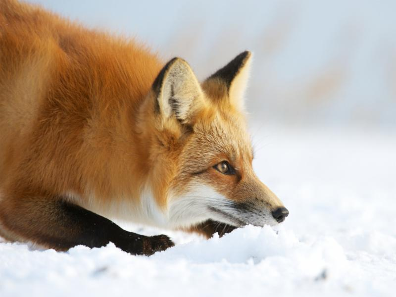 A Red Fox hunting in the snow in Wyoming.