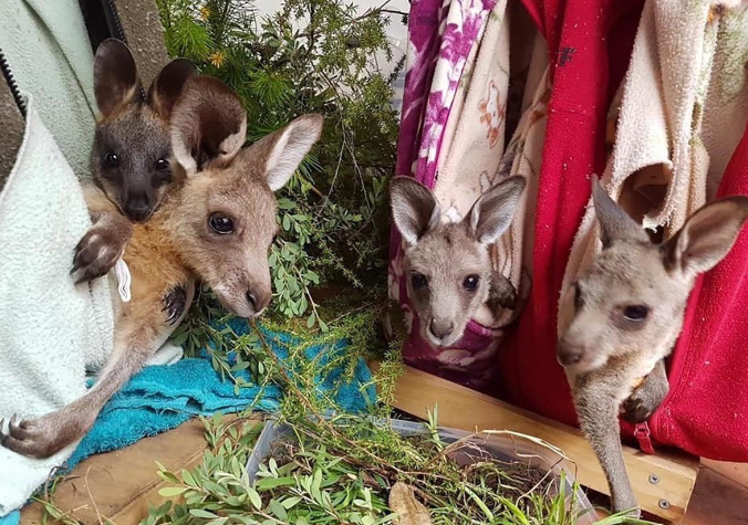 Baby kangaroo in crafted pouches
