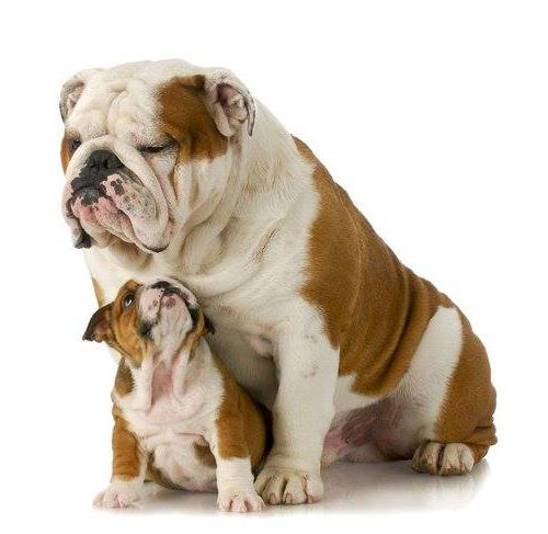 Real picture of a brown and white Bulldog parent with bulldog baby. White background.