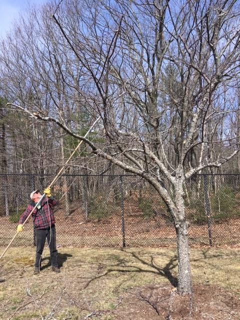 Arborist pruning a crabapple tree with a pole tool.