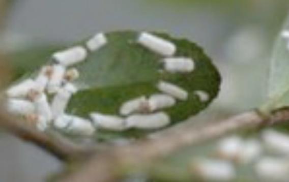 Image of white cottony ovisacs