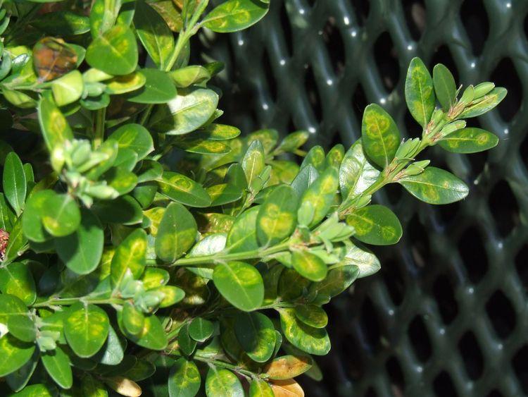 Image of leaves damaged by Boxwood leafminer