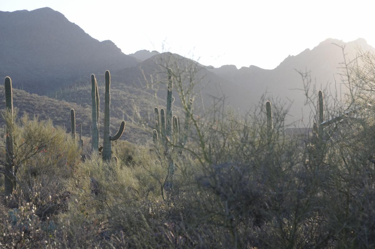 Photo of Tucson Mountains with Saguaro cacti in foreground
